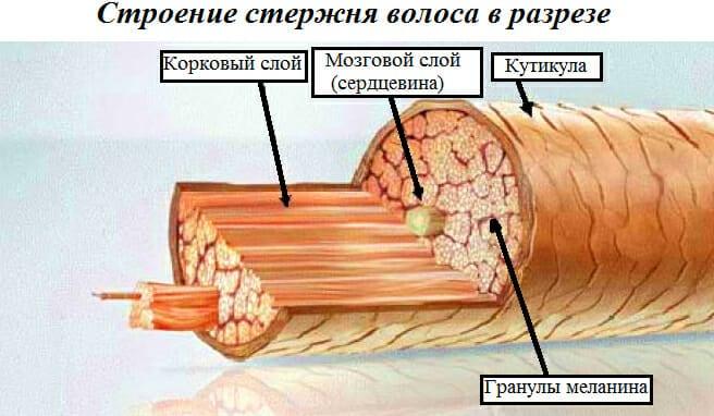 анатомия и строение волоса в разрезе